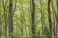 Deciduous forest with newly opened leaves