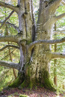 big old trunk of beech tree in forest