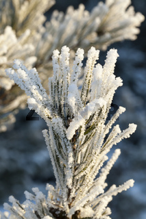 Pine in a frost