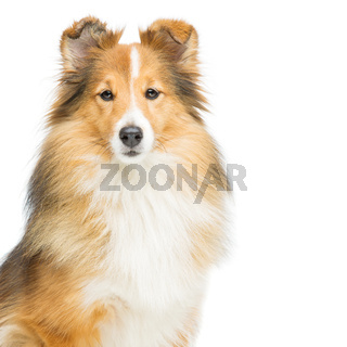 Brown sheltie dog