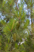 Green branches of pine with cones.