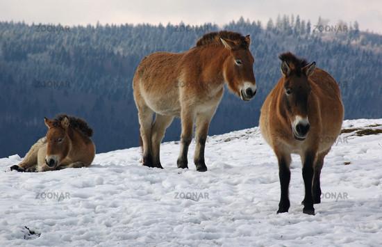 Przewalski Pferd Reiten Przewalski Pferde