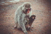 Japanese macaque and baby, Iwatayama monkey park, Kyoto, Japan