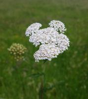 Schafgarbe; Achillea; millefolium