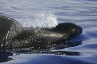 Auftauchender Pilotwal, Emerging Pilotwhale