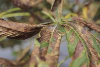 Kastanienminiermotte, horse chestnut leafminer, Cameraria ohridella,