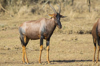 TOPI male standing in the Kenyan the savanna on a sunny day