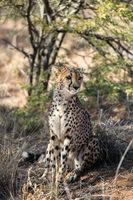 Close view of a cheetah resting and boring at cheetahs farm