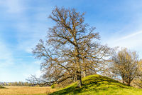 Oak tree at a hill in a rural spring landscape