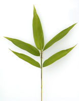 Bambusblatt, Gartenbambus