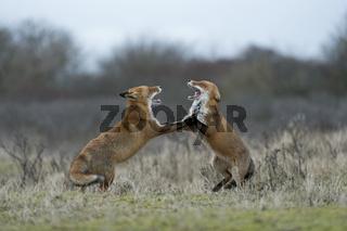 im Streit... Rotfüchse *Vulpes vulpes* streiten miteinander auf den Hinterbeinen stehend