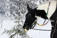 piebald mare in the fresh air in winter while walking through the forest. the horse eats at young spruce trees and tree branches.