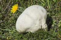 Riesenbovist (Calvatia gigantea) auf einer Wiese in Haute-Nendaz