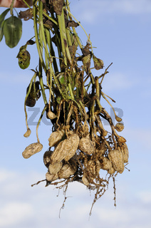 Erdnüsse, Erdnusspflanzen