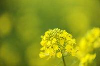 Rapsblüte auaf grün