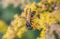 Digger-wasp