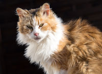 Siberian cat isolated on black background