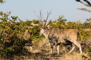 Elandantilope (Taurotragus oryx), Afrika, Botswana, Tuli Block