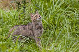Wachsame Katze / Felis catus auf grüner Wiese