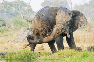 Afrikanischer Elefant (Loxodonta africana) nimmt ein Schlammbad, Moremi National Park, Moremi Wildlife Reserve, Okavango Delta, Botswana, Afrika, African Elephant takes a mud bath, Africa