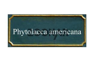 schild Kermesbeere,Phytolacca americana