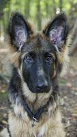 Deutscher Schäferhund / Portrait