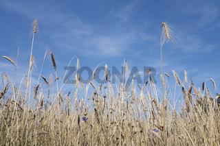 Feld mit Getreide und Kornblumen unter blauem Himmel