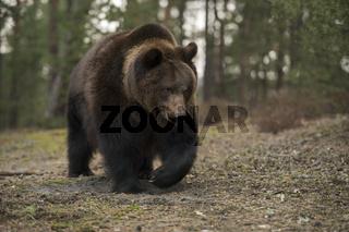 absolut beeindruckend... Europäischer Braunbär *Ursus arctos*