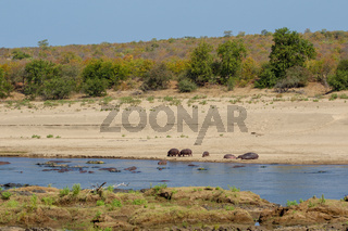 A herd of Hippos on tha Bank of a River Kruger National Park
