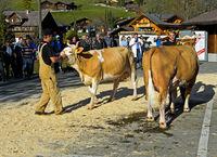 Präsentation von Simmentaler Kühen an einer Viehschau, Lauenen, Kanton Bern, Schweiz