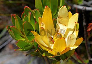 Vegetation auf dem Tafelberg, Kapstadt, Südafrika, flower on top of Table Mountain, Cape Town, South Africa
