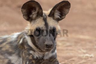 a wild dog in Kruger National Park South Africa