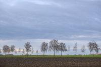 Birken (Betula) an einer Landstrasse