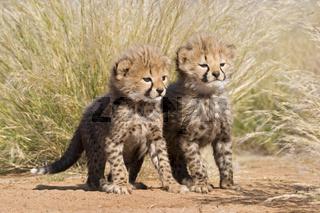 Geparden Kaetzche im hohen Gras, Acinonyx jubatus, Namibia, Afrika, Cheetah Kittens in high grass, Africa
