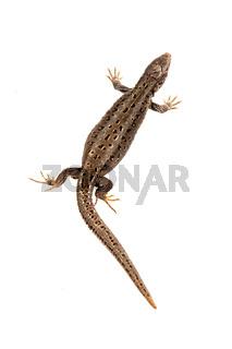 Sand lizard (Lacerta agilis) isolated on a white background
