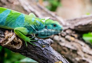 Fiji Banned Iguana
