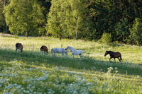 beautiful herd of horses graze in spring meadow