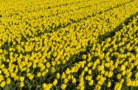Feld mit gelben Tulpen zur Produktion von Blumenzwiebeln, Bollenstreek, Niederlande