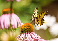 Yellow and Black Monarch Butterfly on a Flower