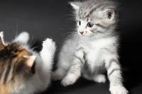 zwei Katzen spielen