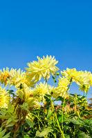 Gelbe Dahlien im Herbst