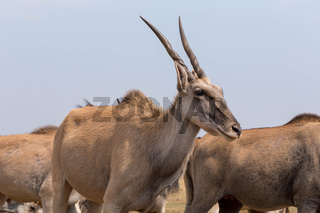 bunch of cape eland south africa
