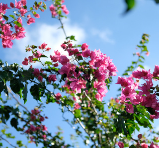 Blooming Bougainvillea tree against blue sky background