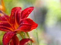 Blossom red lilies flower with drops of dew