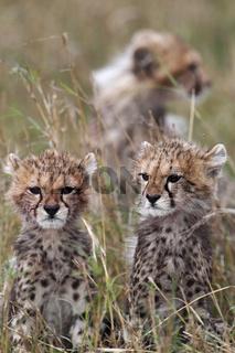 Young cheetahs - Junge Geparden