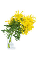 Beautiful mimosa flower blossom in glass vase isolated on white background. Shallow depth. Greeting card template. Copy space. Spring nature