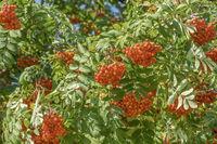Rowan Tree (Sorbus aucuparia) Berries, Quebec City, Canada