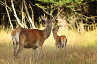 red deer doe with calf in natural habitat ( Cervus elaphus )