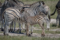 Zebra calf in between the herd.
