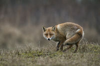 listiger Fuchs... Rotfuchs *Vulpes vulpes* dreht sich um